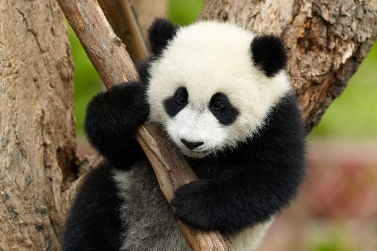 Giant Panda giant panda  cute  - thinglink