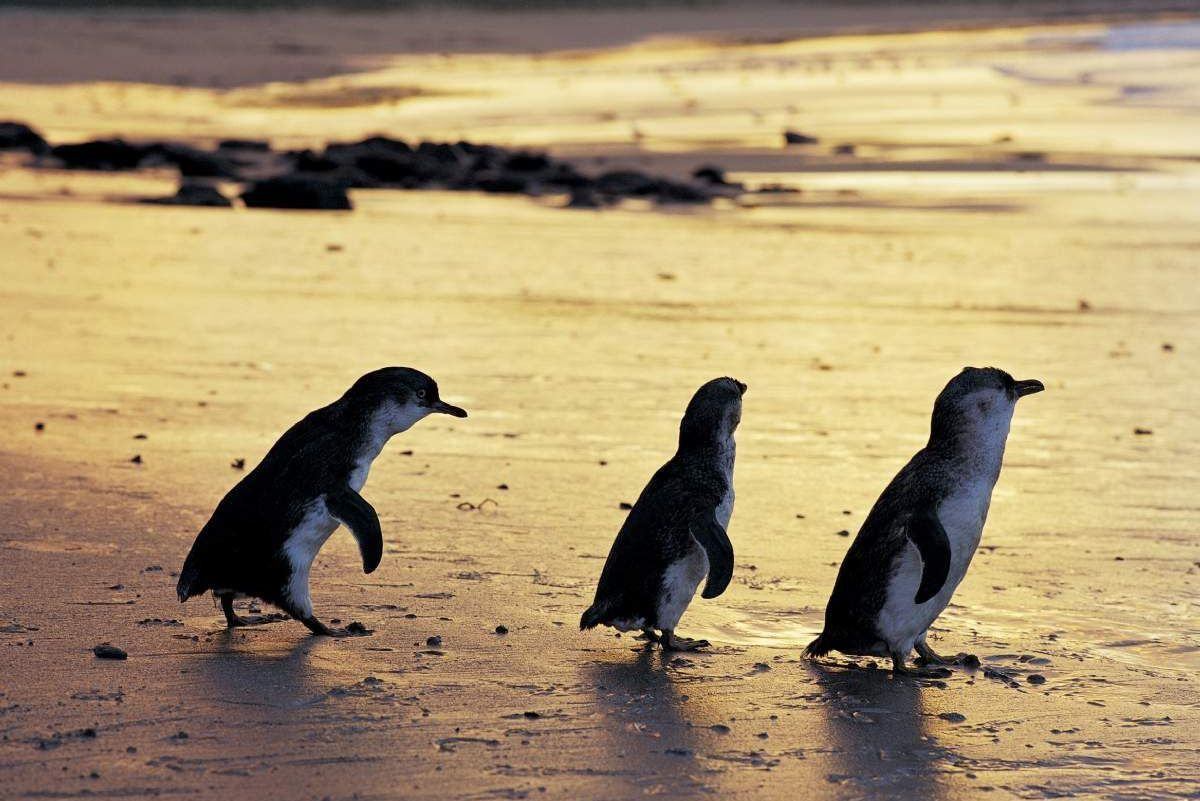 Phillip Island Little Penguin Tour