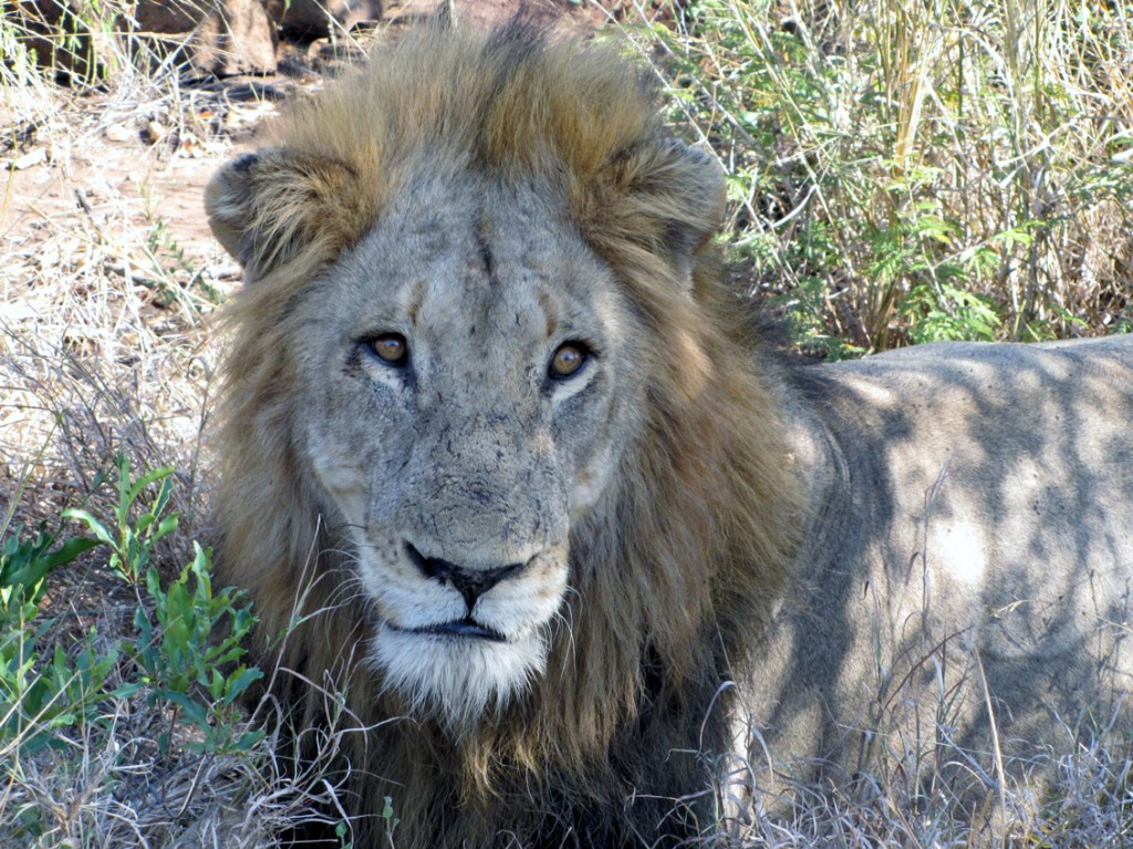 Male Lion of a Mega Pride in Lebombo