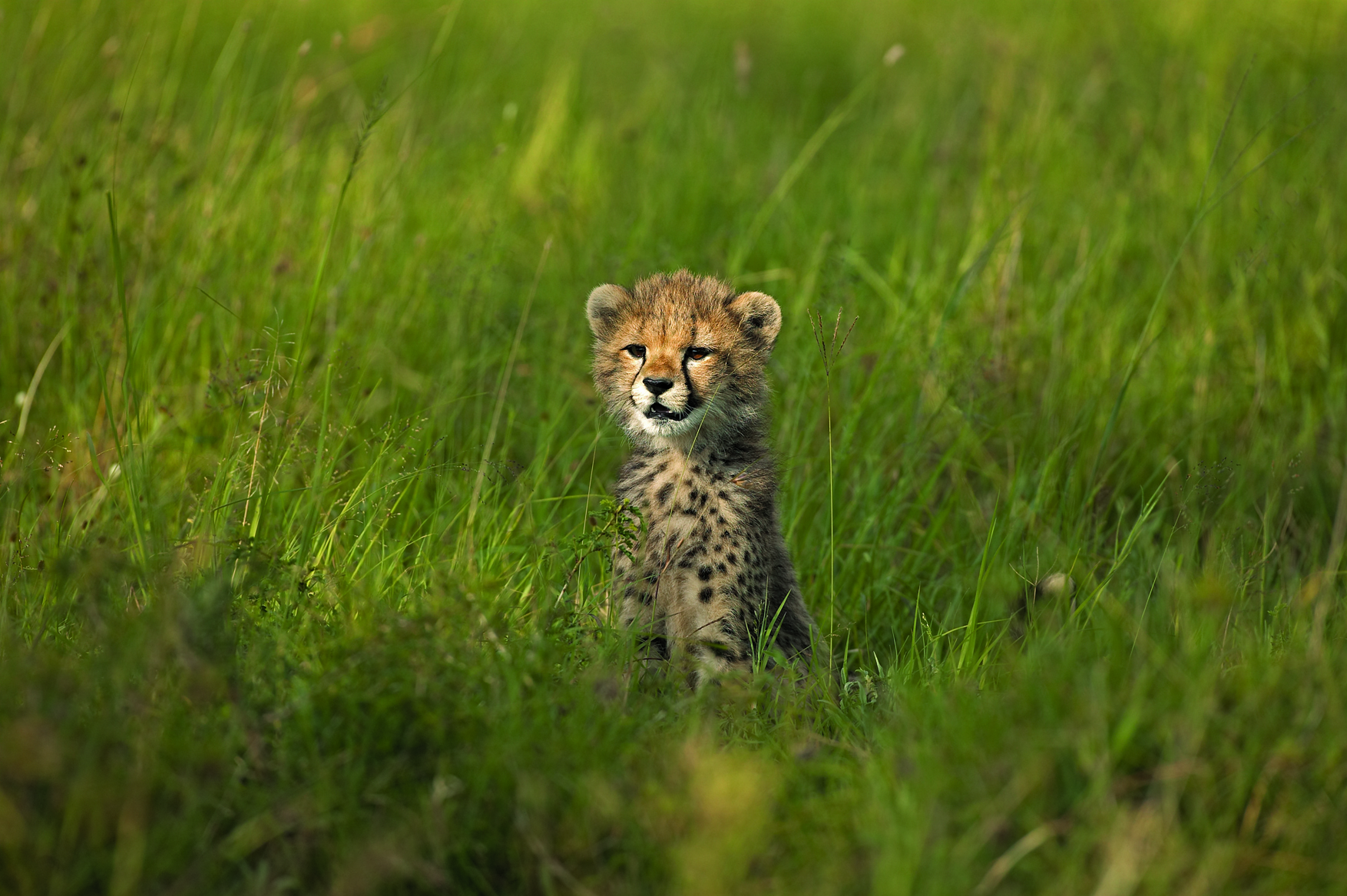 Cheetah Cub at Singita   Photo Credit: Singita Grumeti