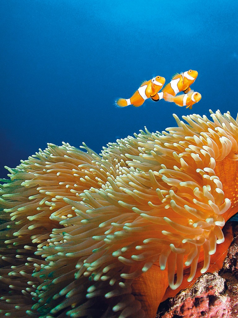 Clownfish with Anemone off Green Island, Cairns Photo Credit: Tourism Queensland