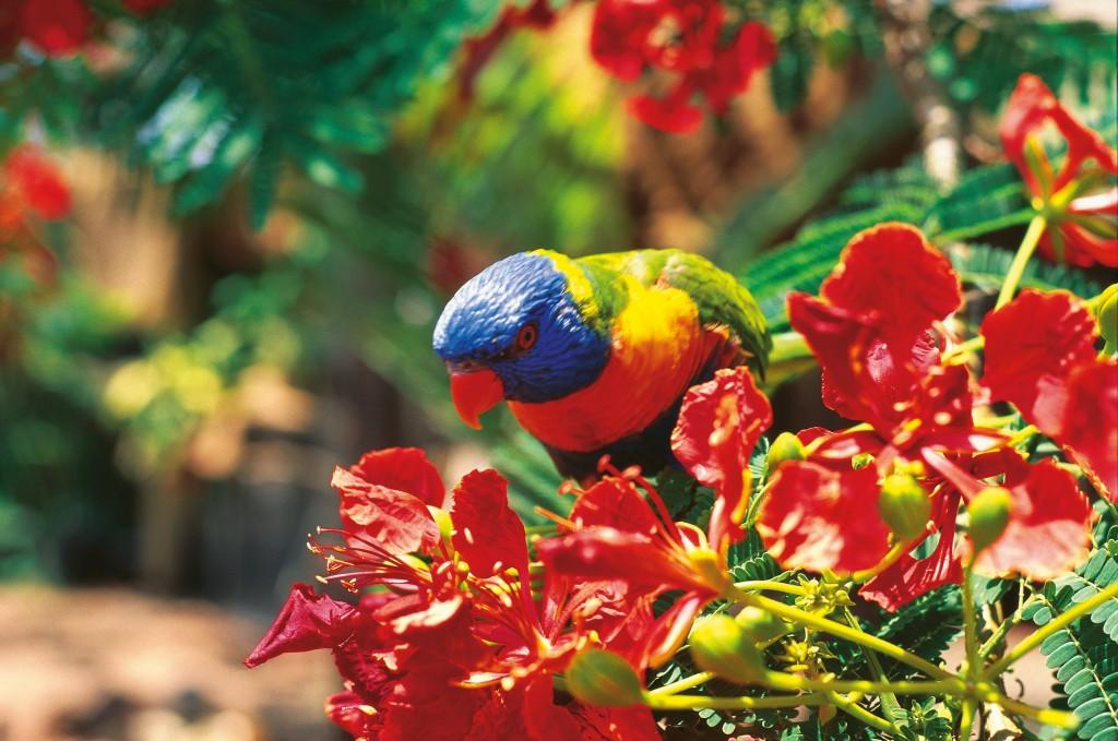 Rainbow Lorikeet Photo Credit: Tourism Queensland