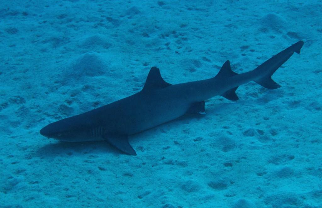 Whitetip reef shark  Photo Credit: Tourism Queensland