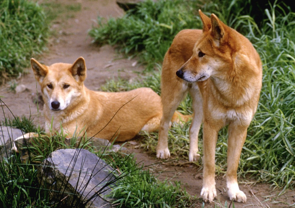 Dingoes | Photo Credit: Tourism Australia Copyright