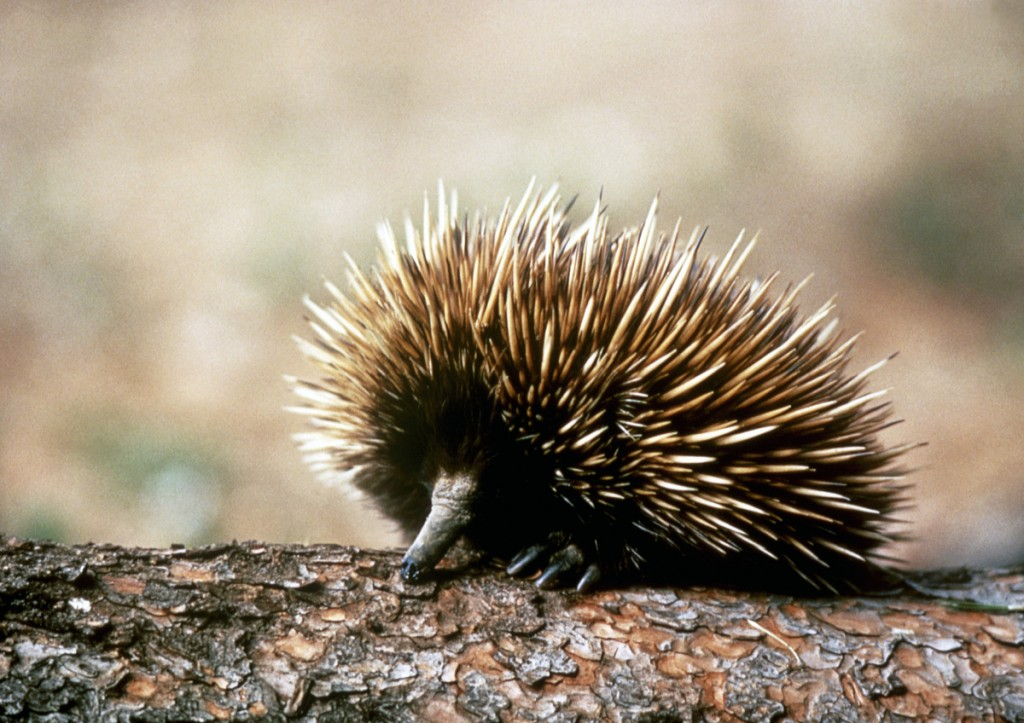 Echidna | Photo Credit: Tourism Australia