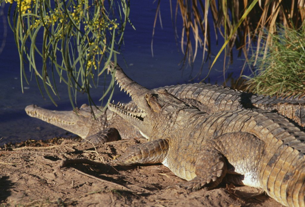 Freshwater Crocodiles | Photo Credit: Tourism Australia