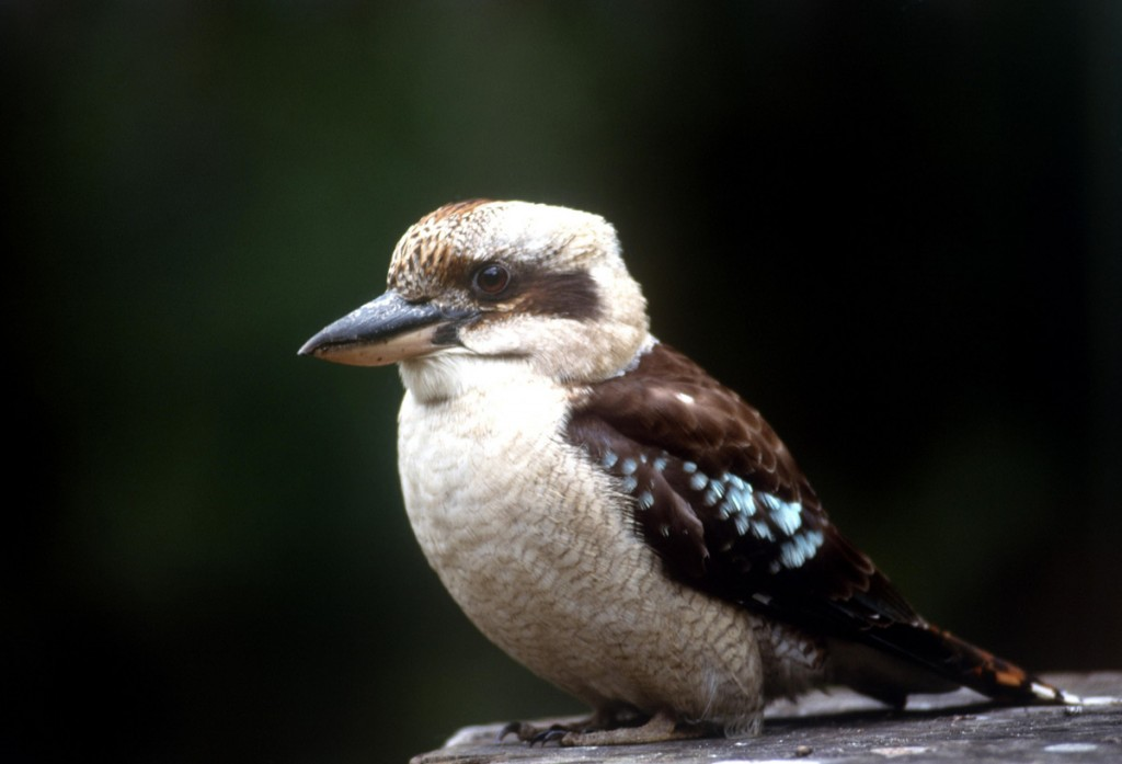 Kookaburra | Photo Credit: Tourism Australia