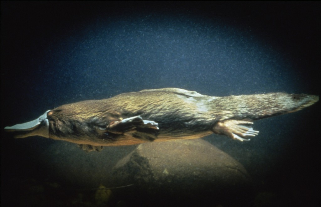 Platypus | Photo Credit: Tourism Australia