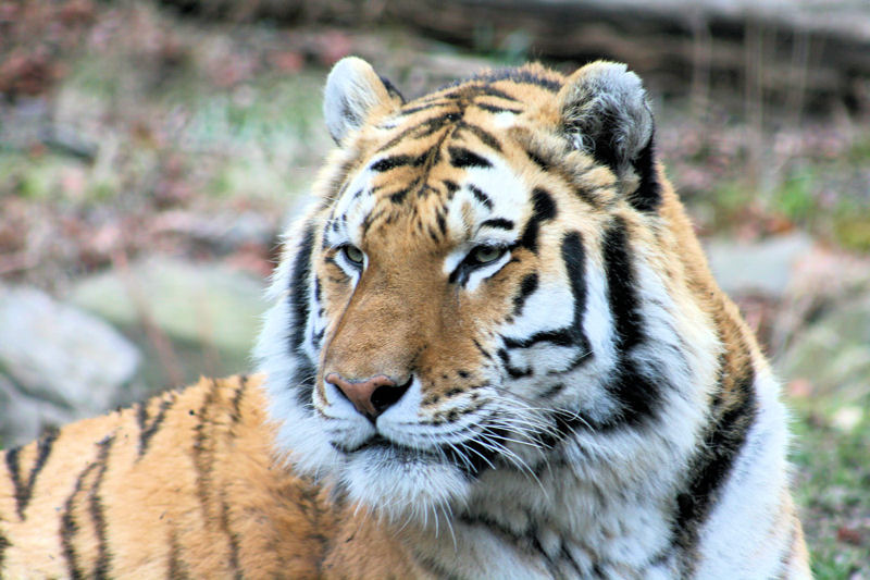 Royal Bengal Tiger | Photo Credit: Sujit kumar/Wikimedia