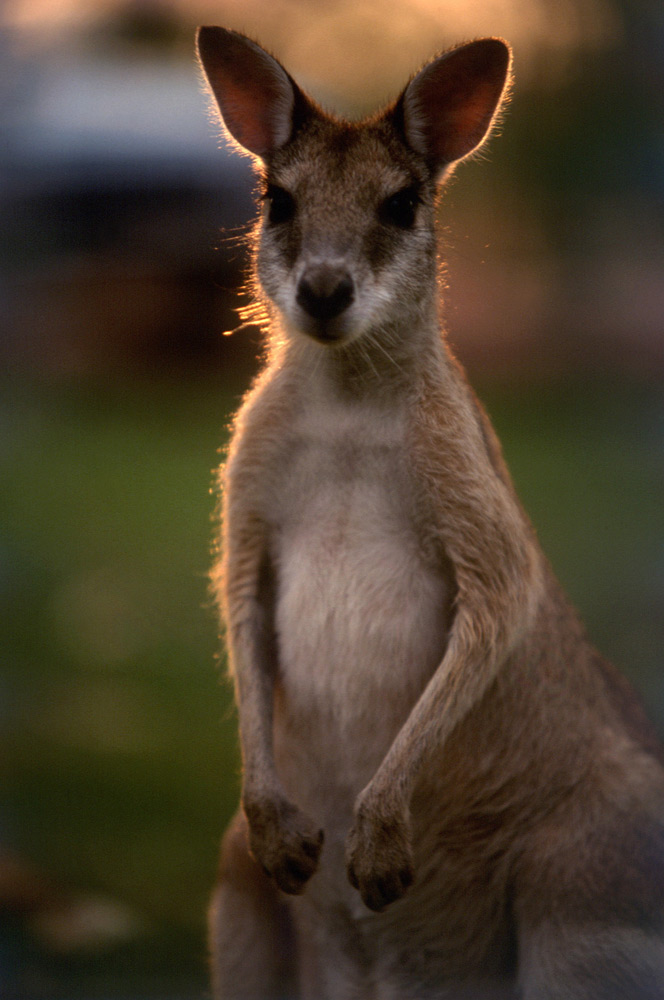 Wallaby | Photo Credit: Tourism Australia
