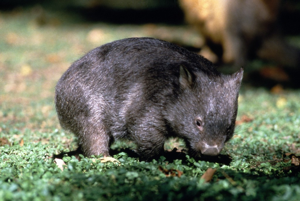 Wombat | Photo Credit: Tourism Australia