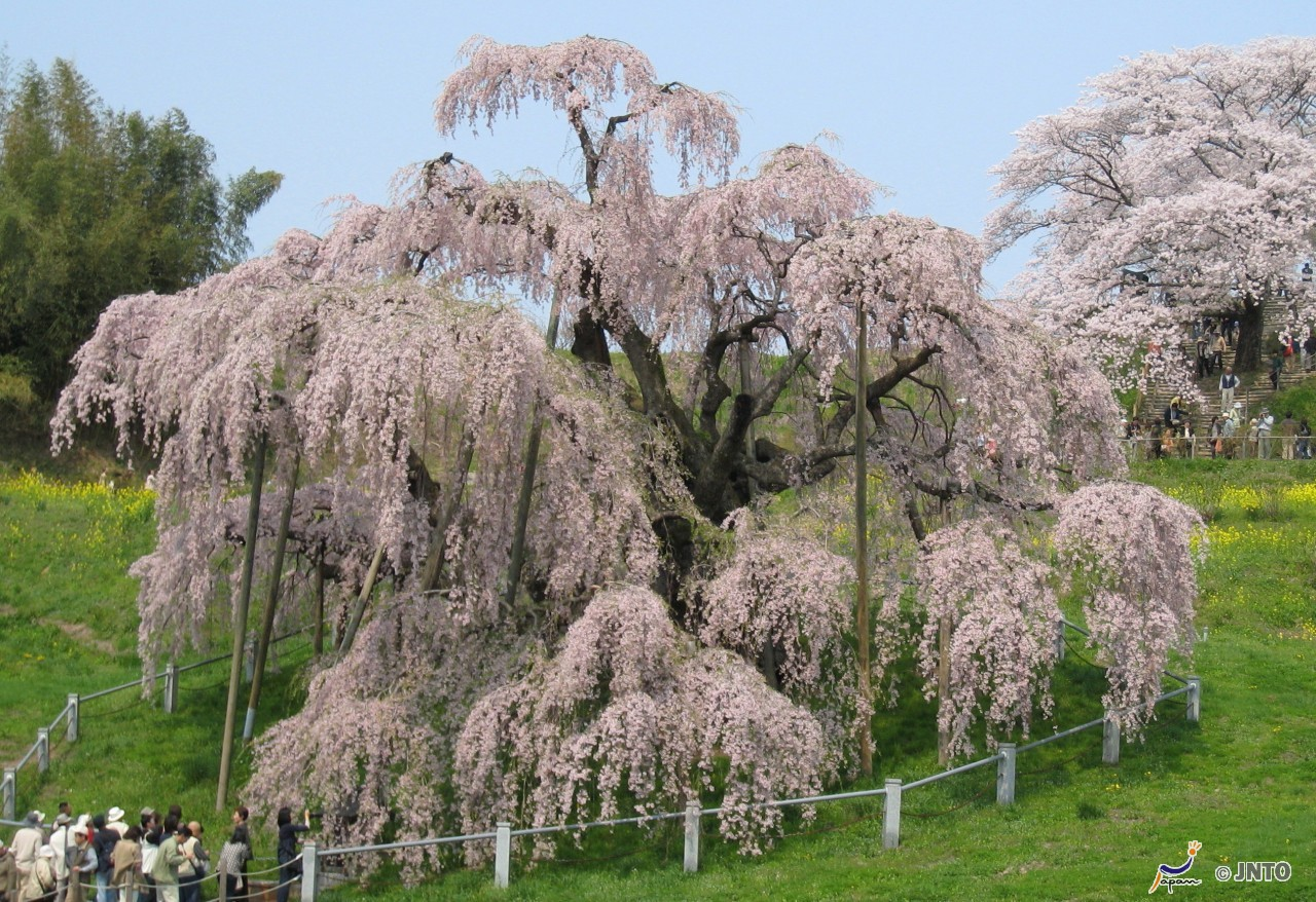 The Cherry Blossoms Of Japan Swain Destinations Travel Blog