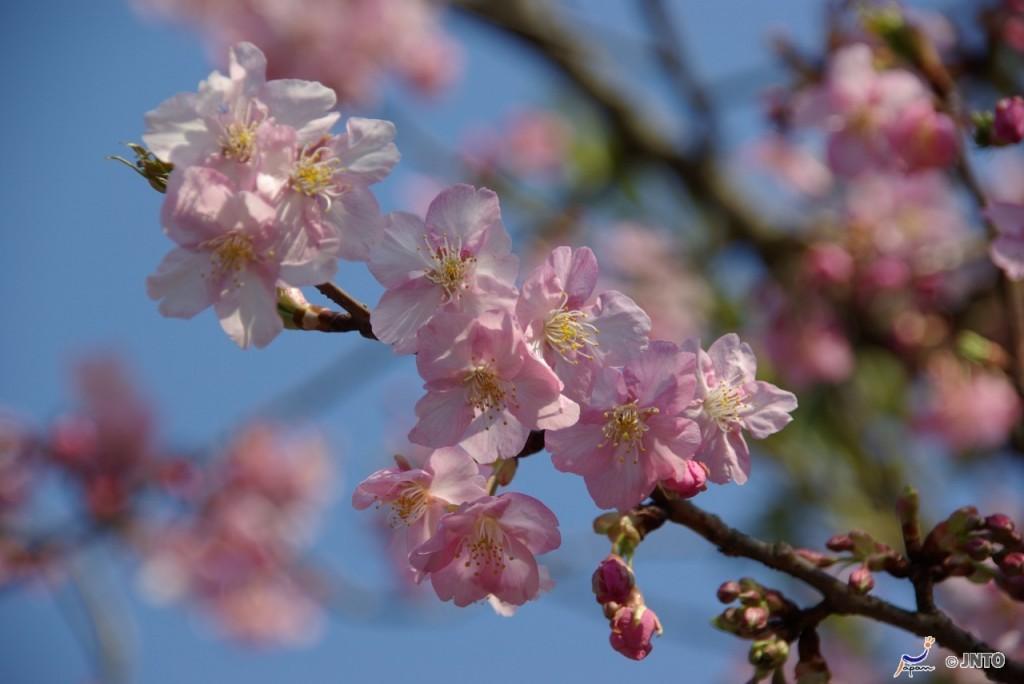 Cherry blossom   Photo Credit: Japan National Tourism Organization