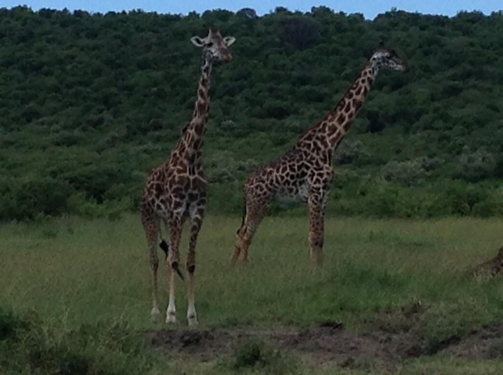 giraffe-mara