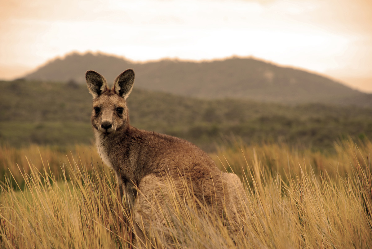 the kangaroos of australia The kangaroo industry is widely regarded as an intelligent use of a sustainable resource and is supported by scientists, conservation groups and academics as being a benchmark for a natural resource use model.