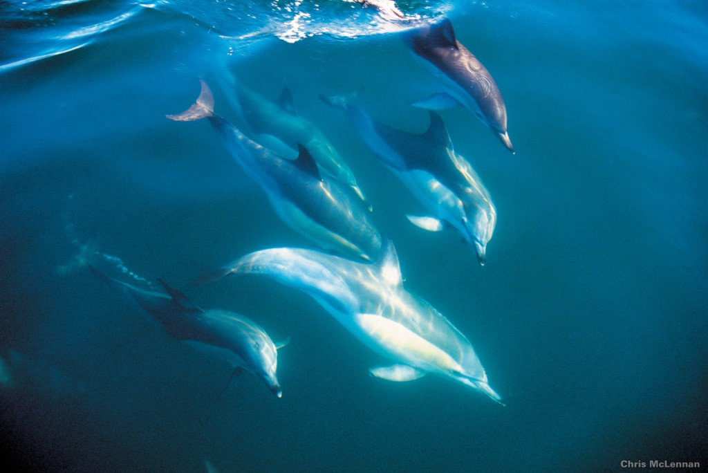 Bottle-nosed dolphins | Photo Credit: Tourism New Zealand