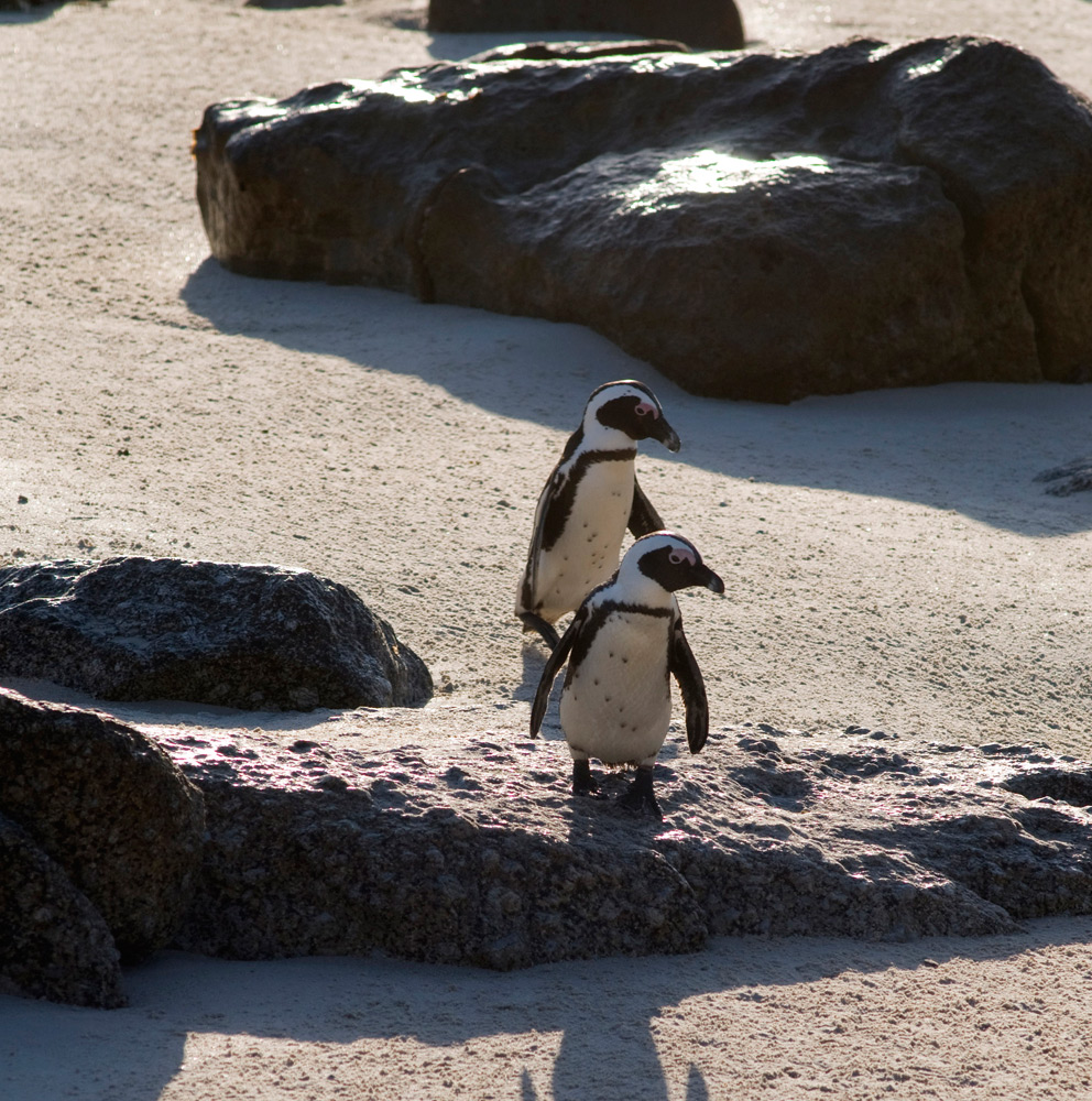 Penguins on Boulders Beach, Cape Town | Photo Credit: South African Tourism