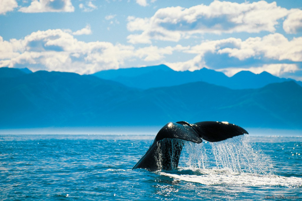 Whale Watching in Kaikoura | Photo Credit: Tourism New Zealand