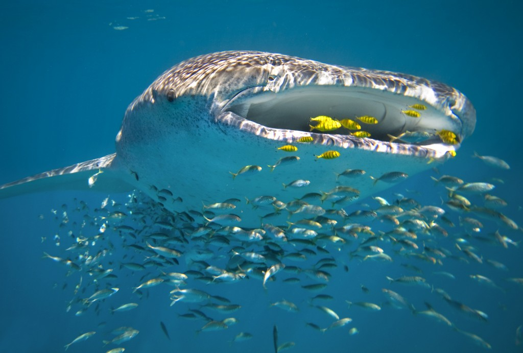Whale Shark (Rhincodon typus) swimming Ningaloo Reef, Western Australia Photo Credit: Sal Salis