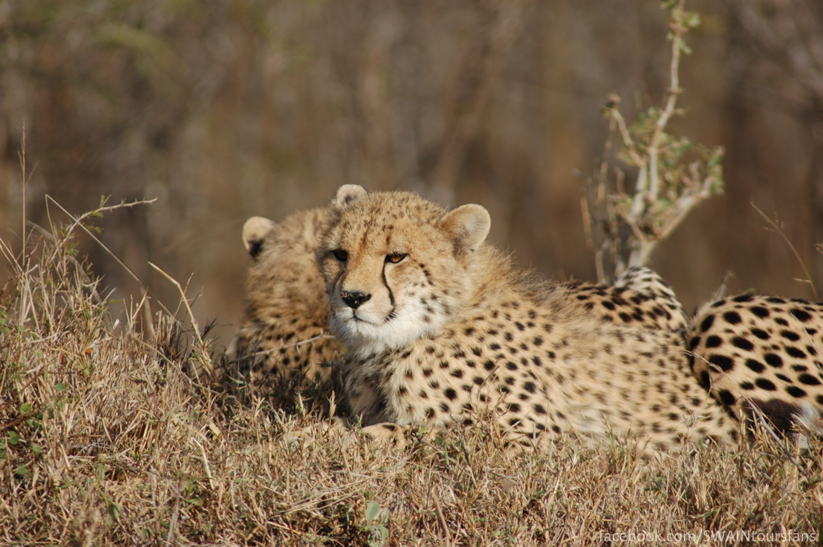 The two cubs lounging around