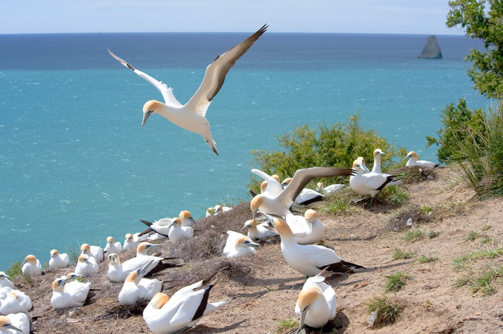 Gannet Colony | Photo Credit: The Farm at Cape Kidnappers