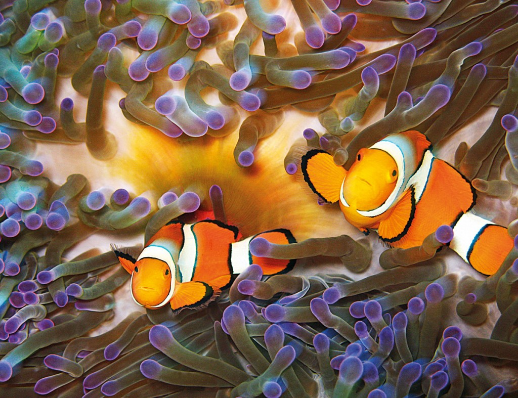 Clownfish with Anemone, off Opal Reef near Port Douglas | Photo Credit: Tourism and Events Queensland