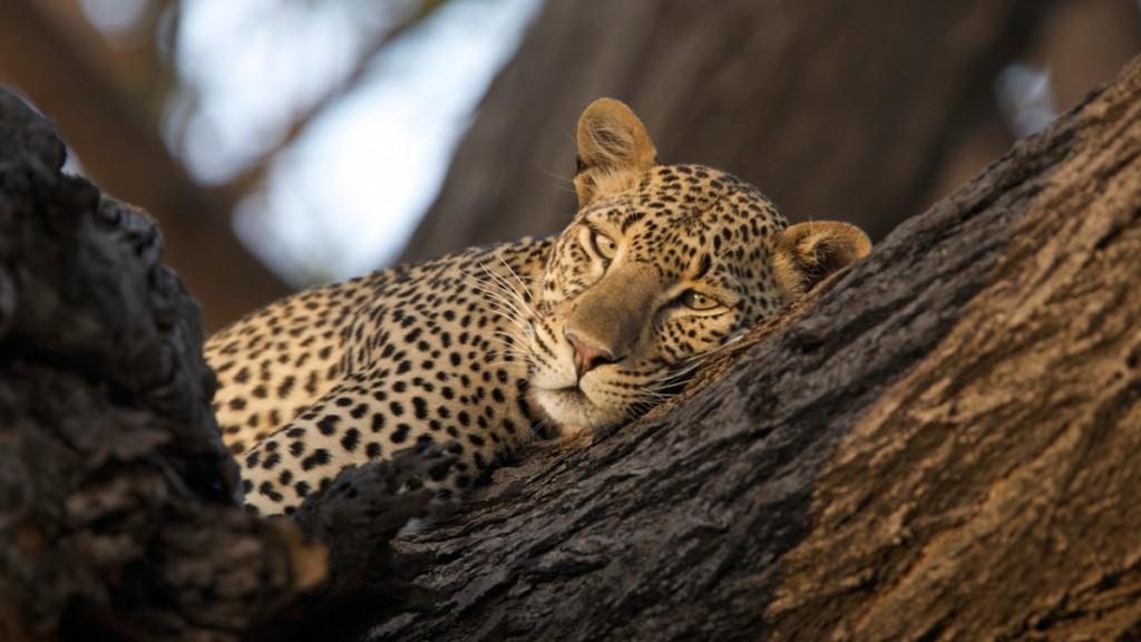 Leopard | Photo Credit: Cheli Peacock/Joy's Camp