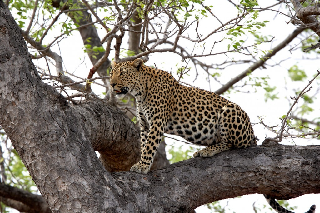 Leopard in a Tree | Photo Credit: Sabi Sand
