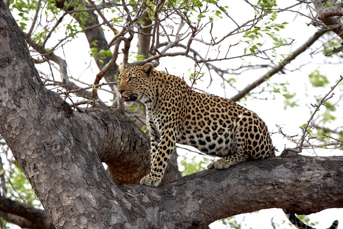 Leopard in a Tree | Photo Credit: Sabi Sand