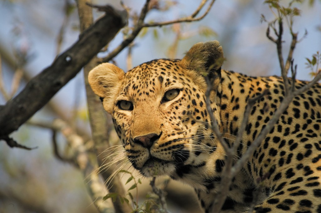 Leopard | Photo Credit: Singita