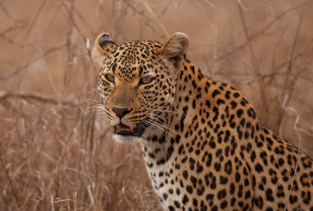 Leopard | Photo Credit: Sabi Sand