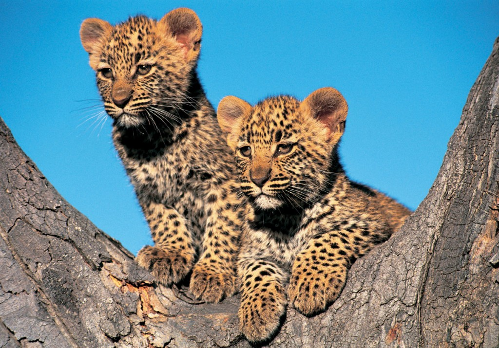 Leopard Cubs | Photo Credit: Londolozi