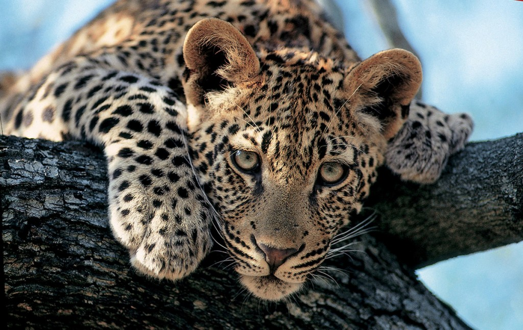 Leopard Stare | Photo Credit: Londolozi