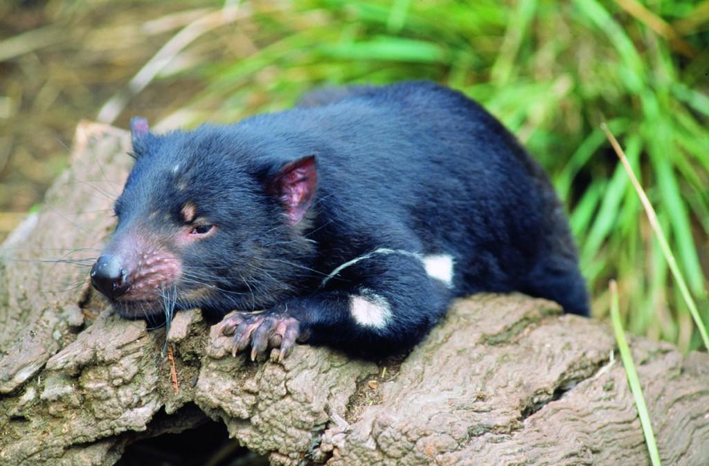 Tasmanian Devil | Photo Credits: Tourism Tasmania & John J. Kamma