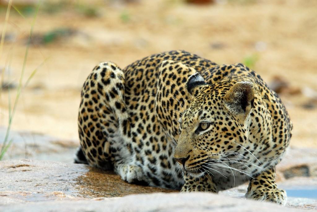 Crouching Leopard | Photo Credit: Ulusaba