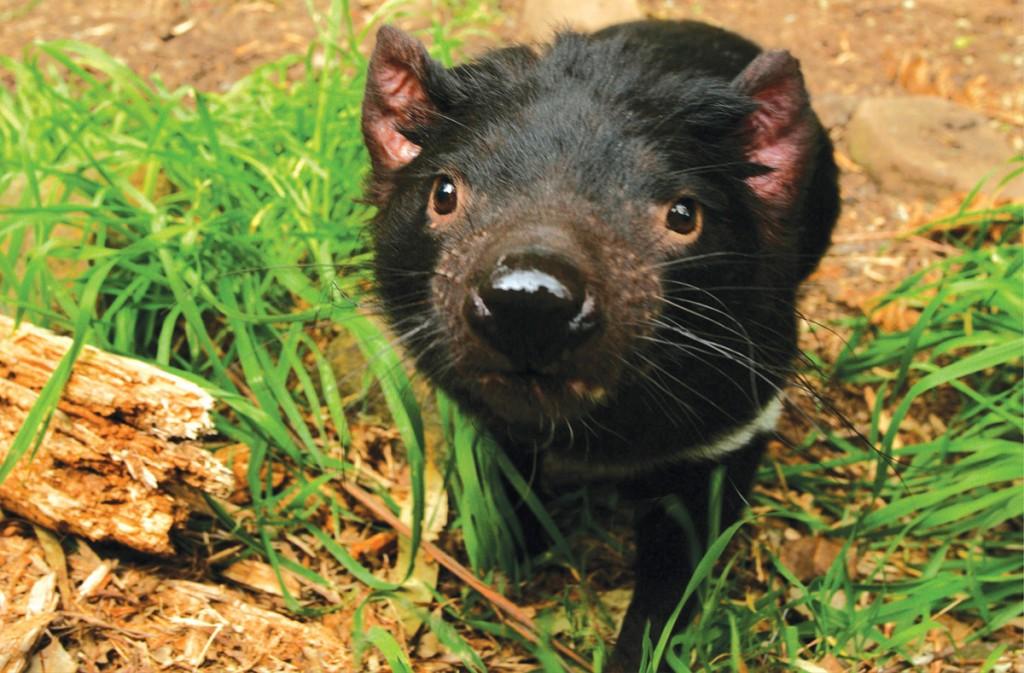 Tasmanian Devil | Photo Credit: AAT Kings