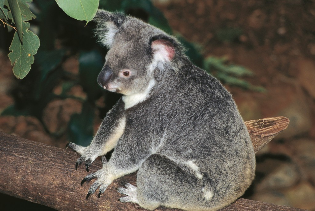 Koala   Photo Credit: Tourism and Events Queensland