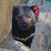 Tasmanian Devil | Photo Credit: Tourism Tasmania