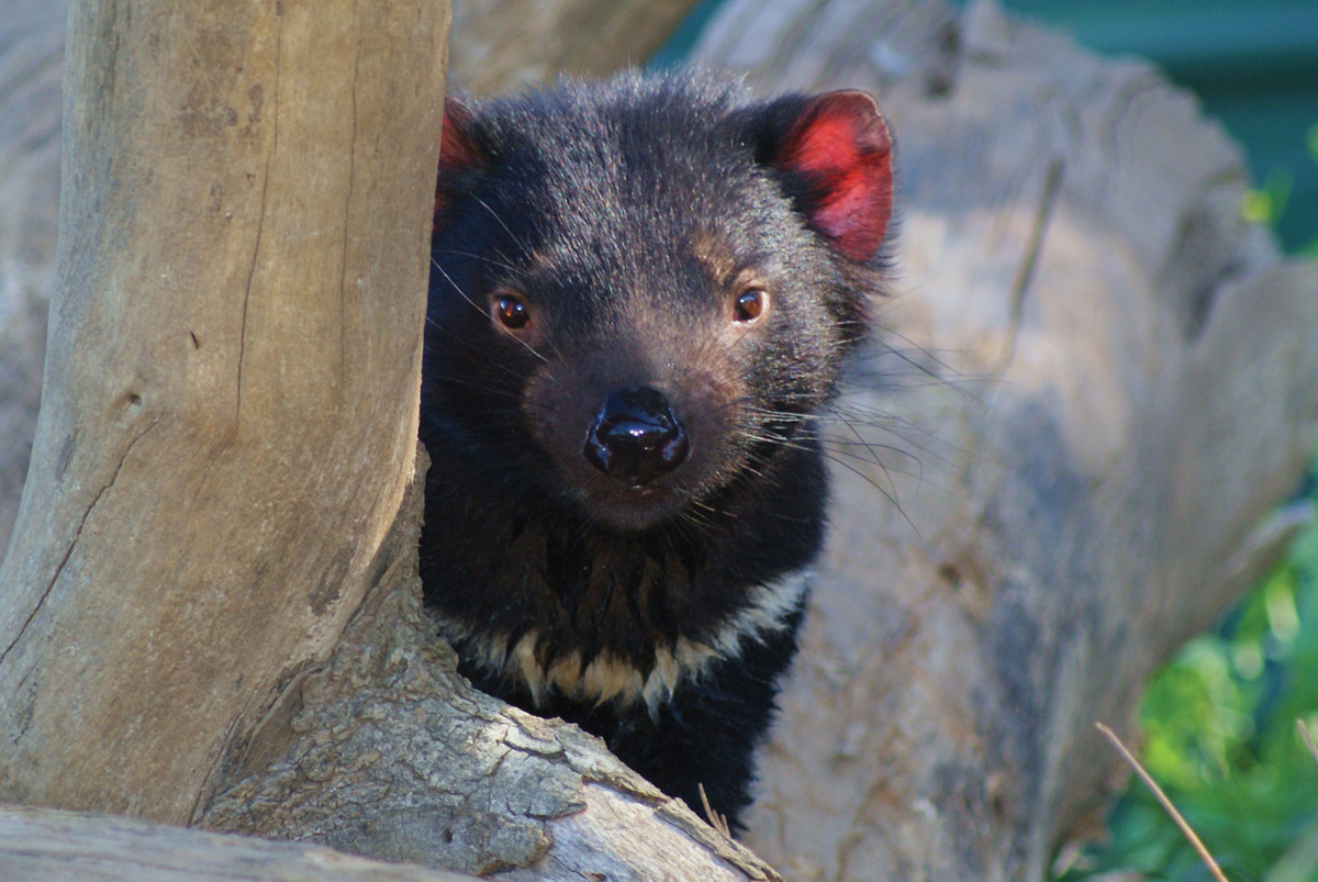 tasmanian devils Tasmanian devils are one of the very few unlucky creatures on this planet to carry a transmissible cancer nearly 95 percent of affected populations have died (and most of the island is infected.