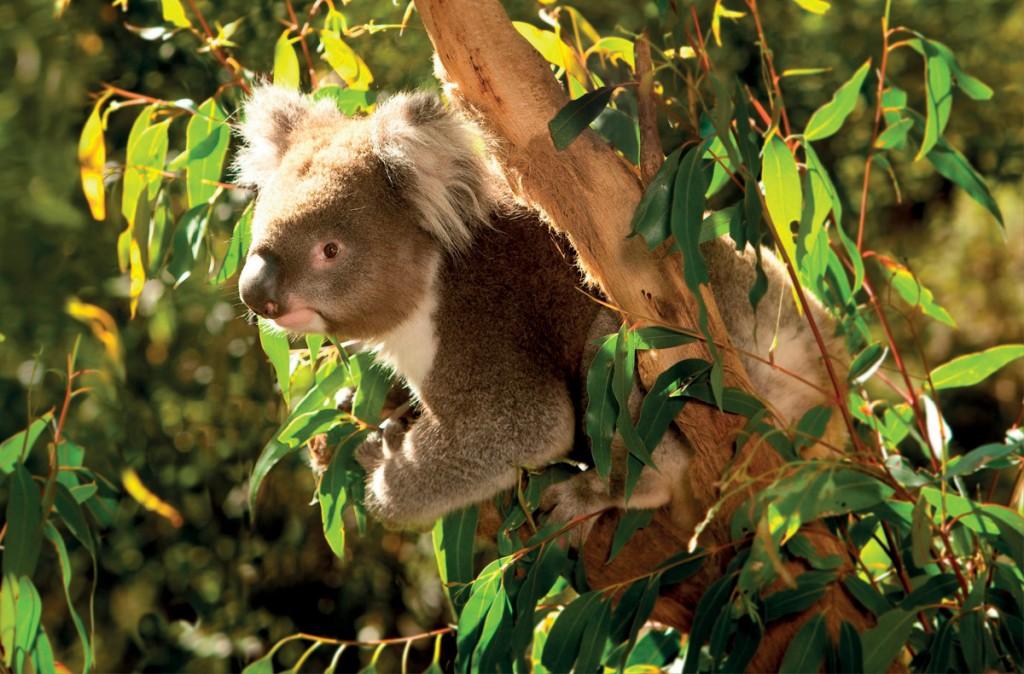 Koala at Healesville Sanctuary   Photo Credit: AAT Kings