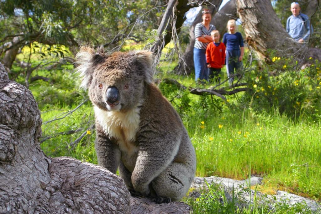 Koala   Photo Credit: AAT Kings