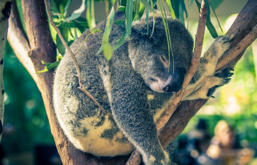 Sleepy Koala   Photo Credit: Swain Destinations