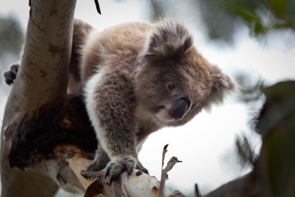 Koala at the Koala Conservation Centre | Photo Credit: Phillip Island Nature Parks