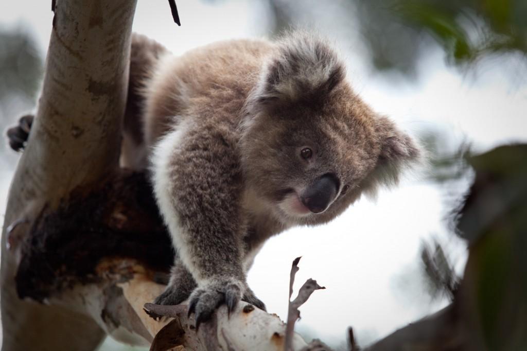 Koala at the Koala Conservation Centre   Photo Credit: Phillip Island Nature Parks