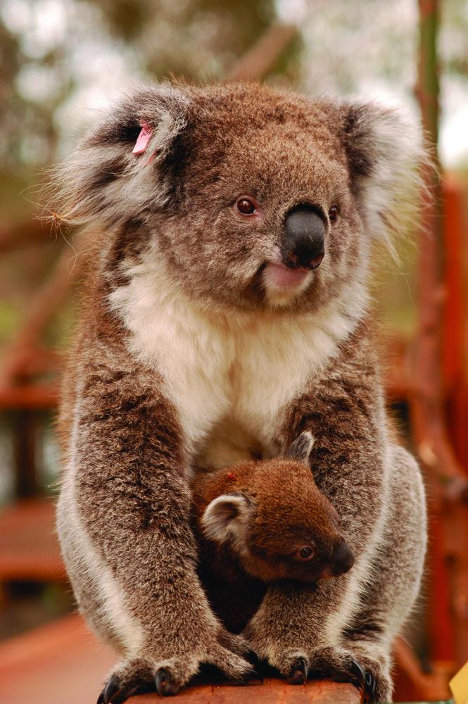 Koala and Baby   Photo Credit: Phillip Island Nature Parks
