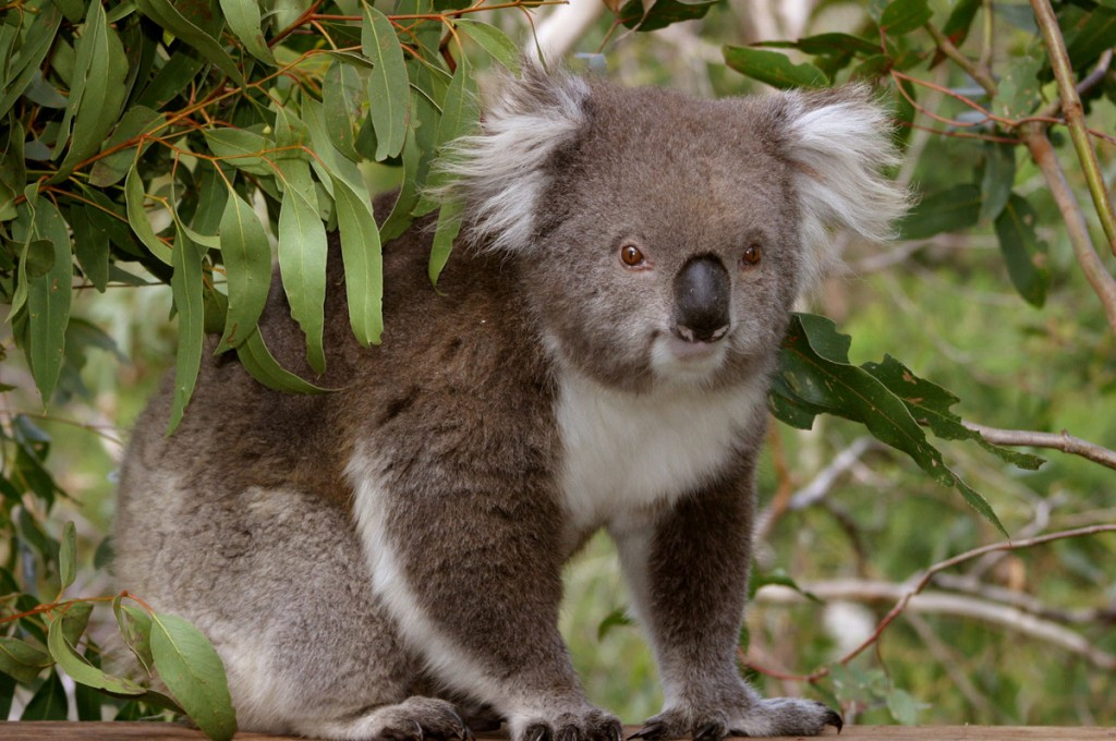 Koala in a tree at Phillip Island Nature Parks   Photo Credit: Phillip Island Nature Parks