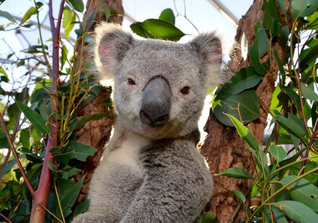 Koala at WILD LIFE Sydney | Photo Credit: Merlin Entertainments Group