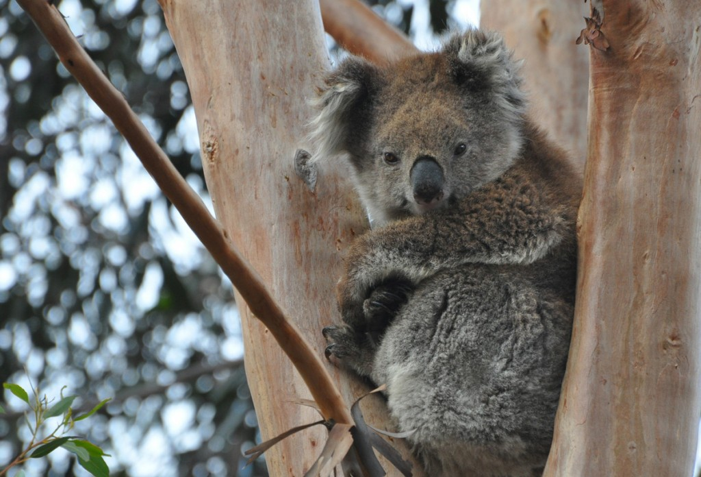 Mature female koala Zelda in the You Yangs. Taken by Mark Helle | Photo Credit: Echidna Walkabout