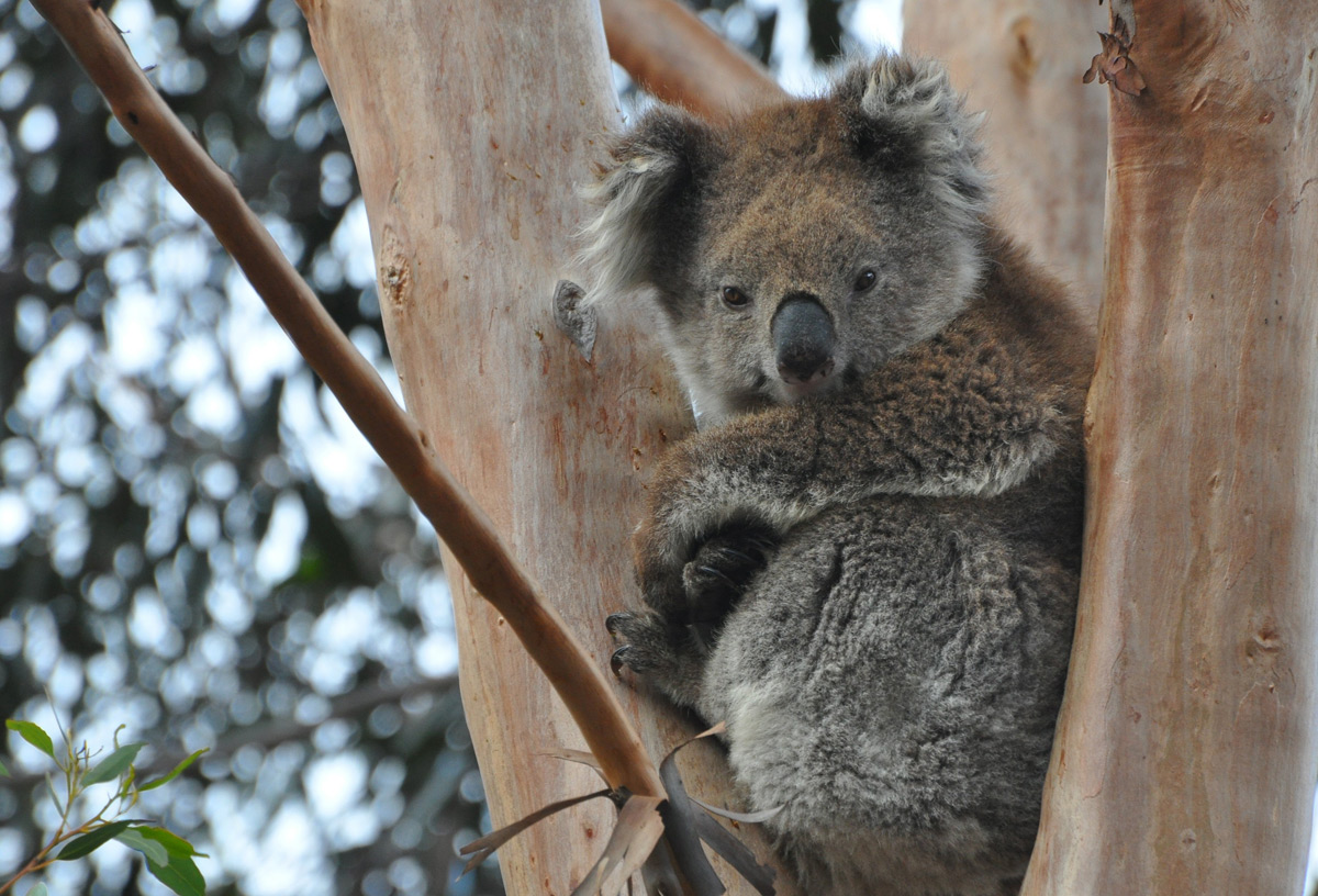 Facts about koalas - Swain Destinations