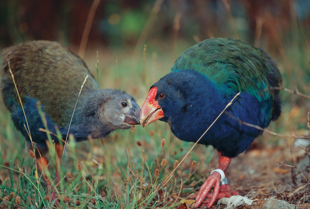 One of New Zealand's most colourful birds, the flightless Takahe lives mostly on island sanctuaries. | Photo Credit: Tourism New Zealand